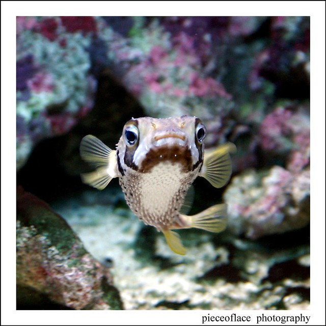 Cute puffers a gallery on flickr for Porcupine puffer fish
