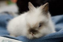 nose, animal, rabbit, domestic rabbit, pet, close-up, angora rabbit, whiskers, rabits and hares,