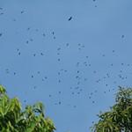 Migración Gavilanes, Hawk Migration, Octubre 2009