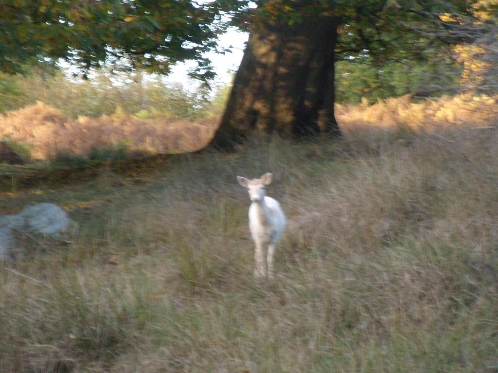 White deer Sevenoaks Circular