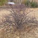 Small photo of Amelanchier alnifolia