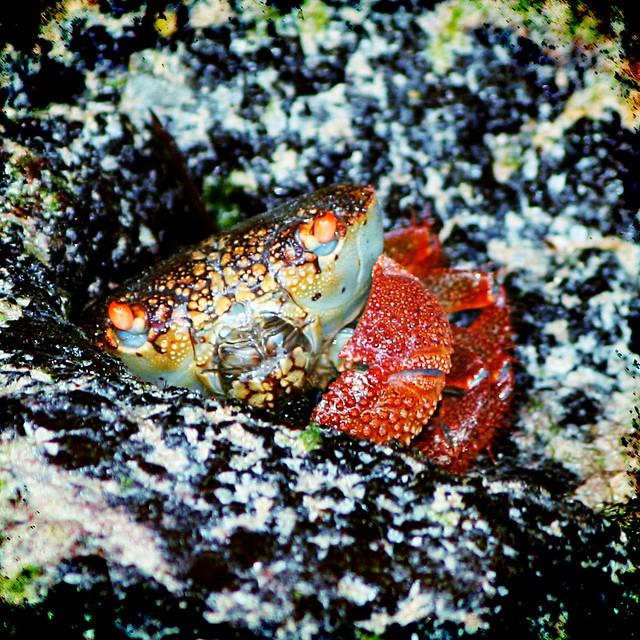 Zanzibar Crab