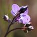 Small photo of Bird's-eye Gilia