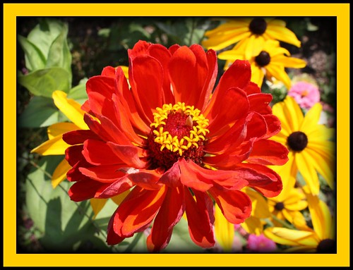 Orange Zennia and Black-eyed Susans