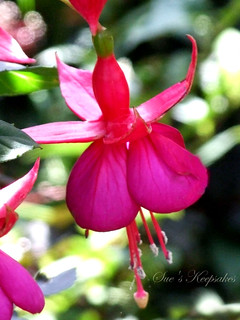 Fuchsia Beauty