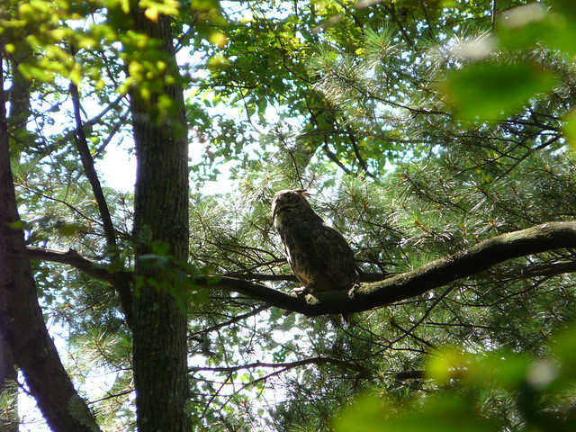 great horned owl eating a snake flickr photo sharing