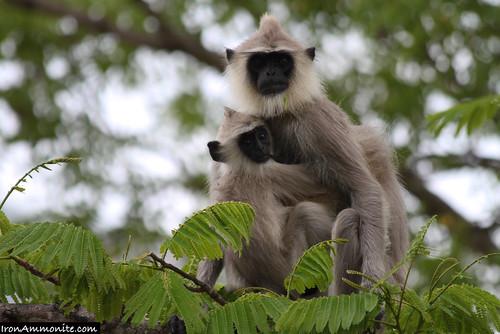 Hanuman Black-Faced Langur