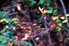 falling leaf    MG 8543