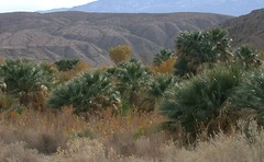 Coachella Valley Preserve, Palm Springs (3803a)