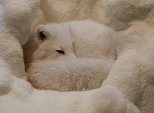 Arctic Fox Sleeping In Snow Flickr Photo Sharing
