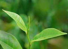 Camellia sinensis, Théier, pekoe + 2 feuilles