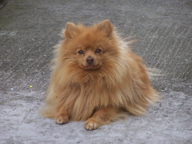 Pomeranian Light Brown