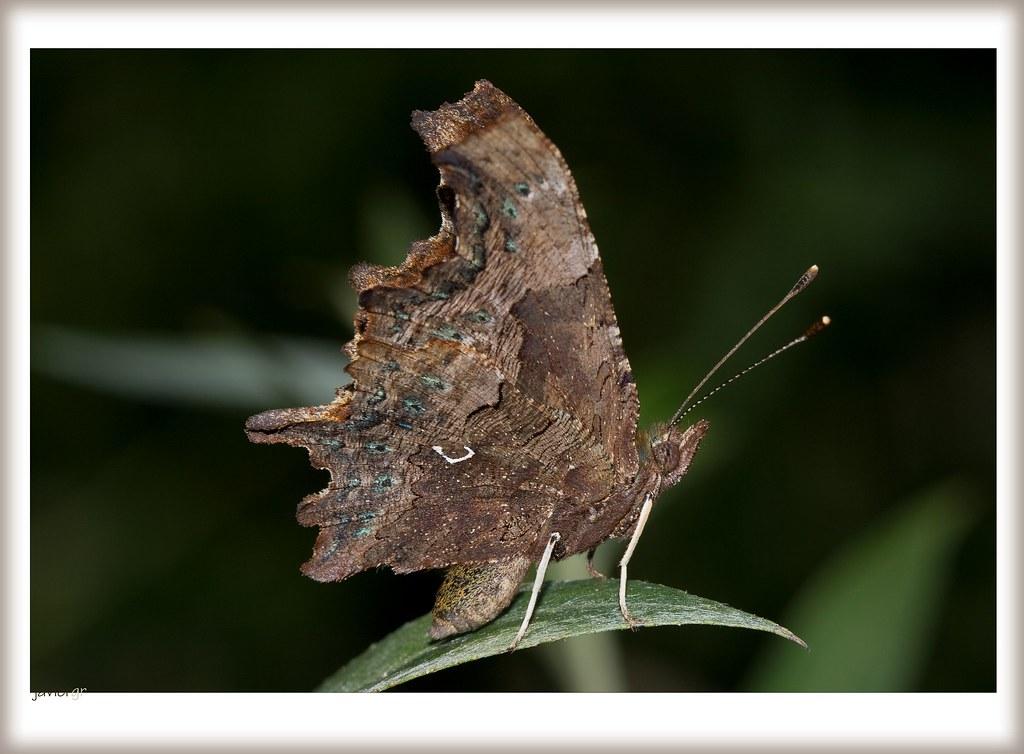 Mariposa de los Geranios