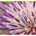 Carduus nutans (detail)