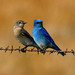 Mountain Bluebird - Photo (c) Blake Matheson, some rights reserved (CC BY-NC)