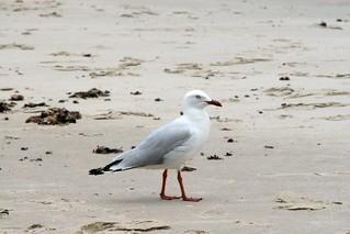 Imagem de Seven Mile Beach. bird beach sand australia nsw tar seagul lennoxhead