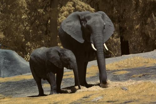 San Diego Wild Animal Park - Infrared