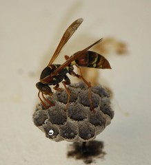 arthropod, animal, wasp, honey bee, brown, invertebrate, macro photography, membrane-winged insect, fauna, close-up, hornet, pest,