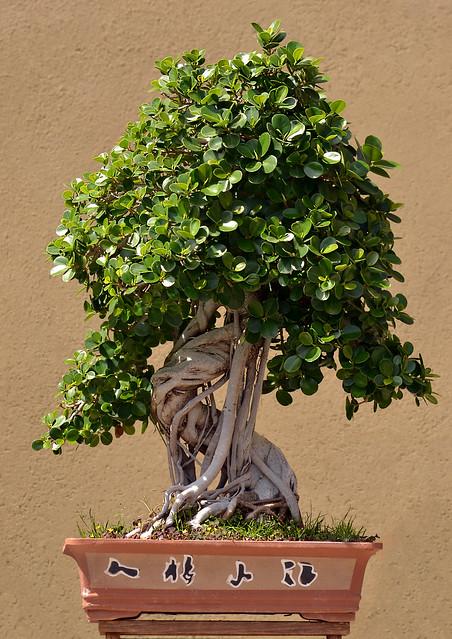 120 anni portati bene----[ bonsai ]