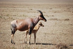 animal, prairie, antelope, wildebeest, mammal, horn, fauna, savanna, grassland, safari, wildlife,
