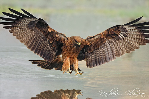 Indian kite bird - photo#8