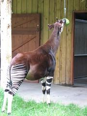mare(0.0), stallion(0.0), animal(1.0), okapi(1.0), fauna(1.0), giraffidae(1.0),