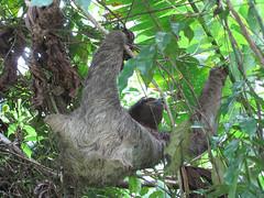 sloth, branch, tree, koala, fauna, forest, jungle, wildlife,