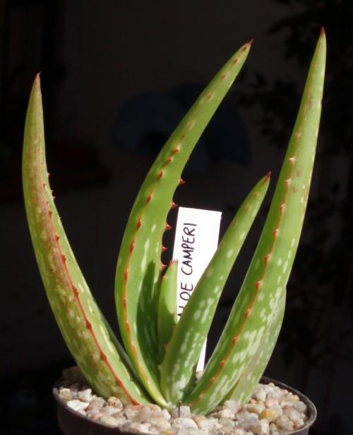 Aloe camperi 4039870760_ba7c75ec81_o