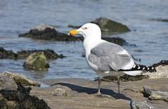 Herring Gull, Sandy Hook, NJ