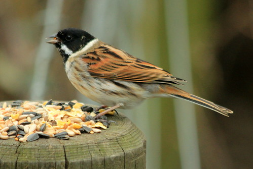 Reed Bunting 4727