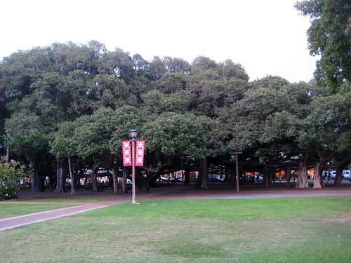 Banyon Tree of Lahaina