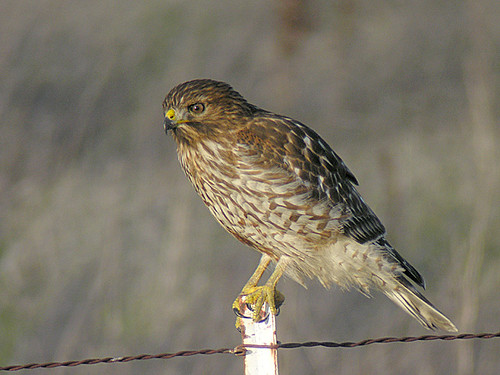 redshouldered hawk juvenile flickr photo sharing