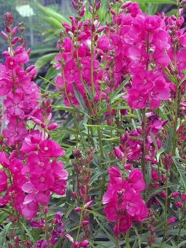 SIDALCEA 'Rose Queen'