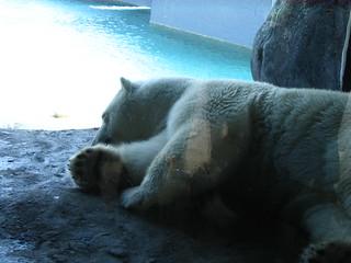 Image of Tundra. bear animal zoo polarbear torontozoo