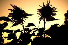 Sunflower Silhouettes at Sunset