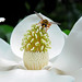 Magnolia Flower with Wasp