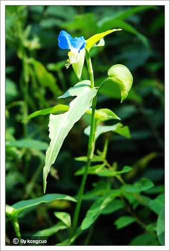 北京阳台山的常见野花-鸭跖草科鸭跖草属鸭跖草2