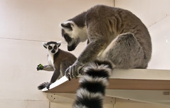 animal(1.0), raccoon(1.0), mammal(1.0), fauna(1.0), lemur(1.0), whiskers(1.0),