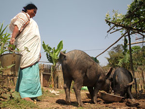 Pig production in Nagaland #1