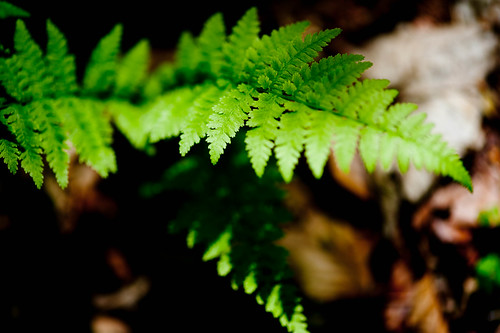 Fern, Lindinny Woods, Scottish Borders