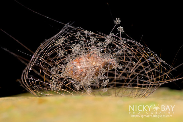 Arctiine moth pupa (Cyana sp.) - DSC_4689