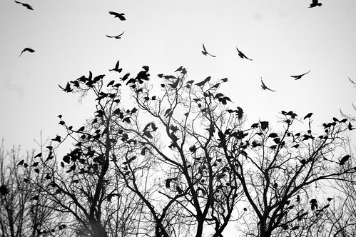 crazy crows