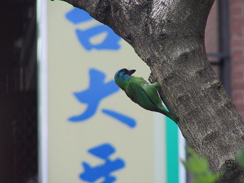 五色鳥竟然在籃球場旁的枯樹幹上啄洞,準備築巢!!