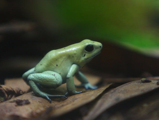 Mint Green Poison Dart Frog | Flickr - Photo Sharing!