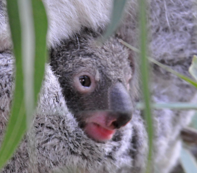 Pouch Koala | First time I've ever seen one this small ...