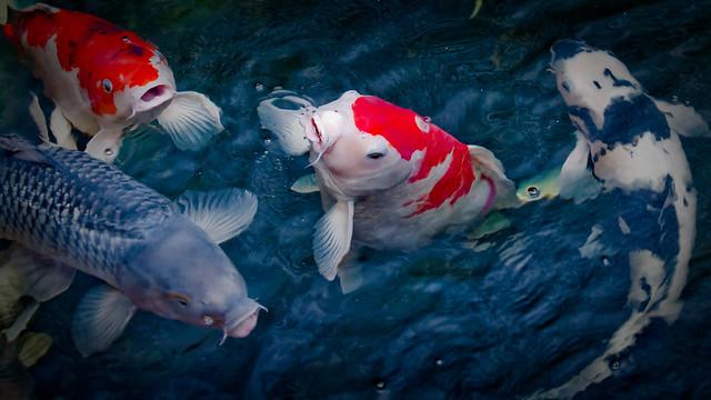Are blue koi fish real for Real koi fish