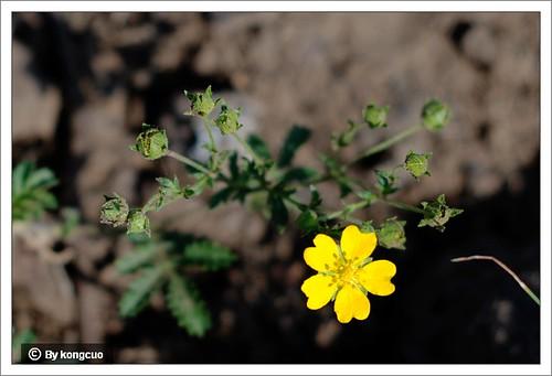 内蒙古植物照片-蔷薇科委陵菜属长叶二裂委陵菜