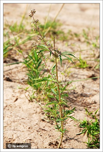 内蒙古植物照片--大麻,桑科大麻属