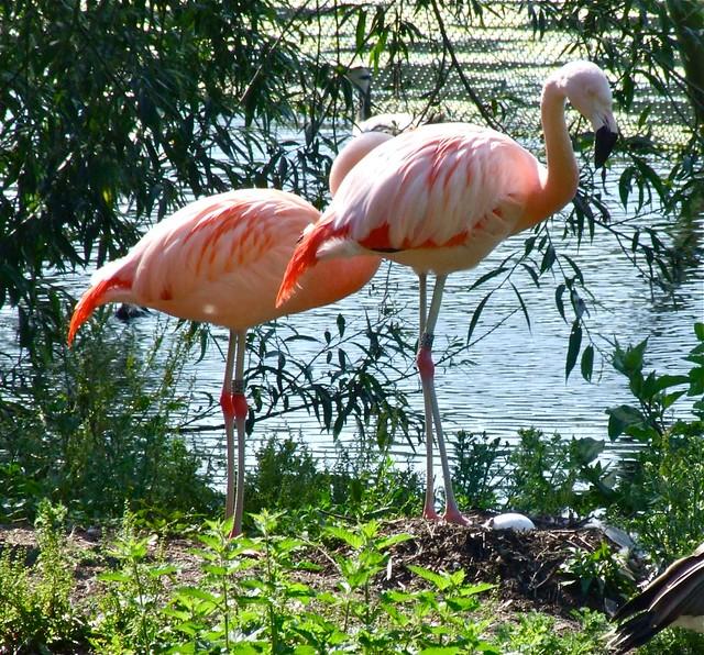 Chilean Flamingo Eggs Oarfish Eggs