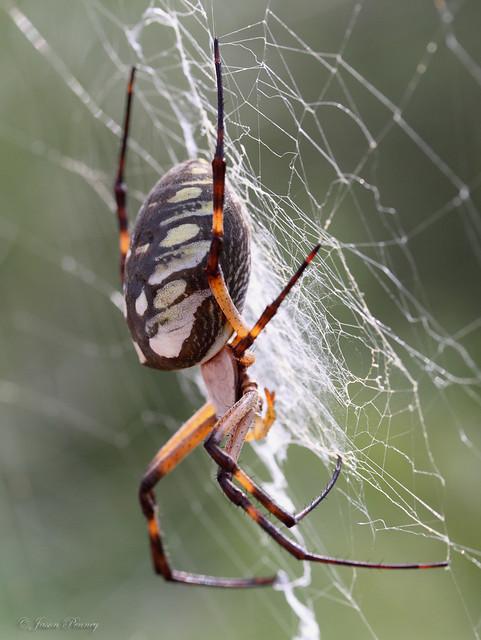 Garden Orb Spider Bite 28 Images Australian Spider